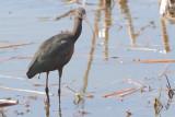 Plegadis falcinellus - Glossy Ibis