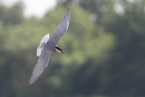 Chlidonias hybrida - Whiskered Tern