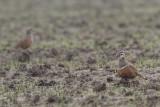 Charadrius morinellus - Eurasian Dotterel