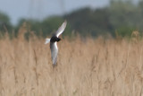 Chlidonias leucopterus - White-winged Black Tern