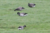 Branta hrota - Pale-bellied Brent Goose