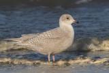 Larus glaucoides - Iceland Gull