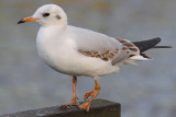 Three-legged Black-headed Gull