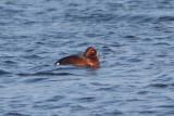 Aythya nyroca - Ferruginous Duck