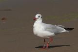 Black-headed Gull Bk[X6E8]