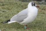 Black-headed Gull G[JC19]