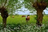 Noordeloos koeien
