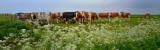 Koeien bij Streefkerk