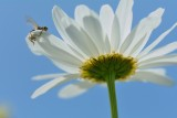 Margriet met dode vlieg