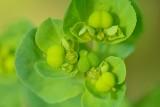 Kroontjeskruid