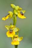 Gele orchis