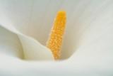 Witte aronskelk