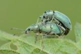 Groene  bladsnuitkever