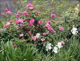 Zephrine  Drouhin - an old Boubon rose