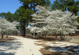 Pinehurst No 2 with the Dogwoods in bloom