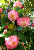 Camellia Nucchios Jewel