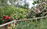Roses along fence - upper paddock