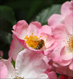 Rosy Cushion - happy bee