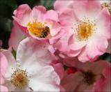 Fresh pollen