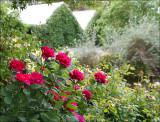 Sophies Rose