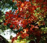 autumnacerglenalta.jpg