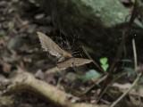 Golden orb spider eating moth