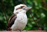 Kookaburra Sits in the ...