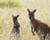 Mother and child, Kangaroo Island
