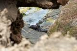 New Zealand Fur Seals at Admiral's Arch, Kangaroo Island