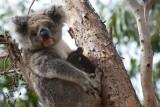 Mother Koala and Baby, Kangaroo Island