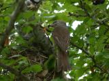 Averla piccola, femmina e maschio, con grillo e verme (spp)