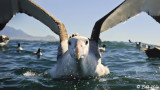 Wandering Albatross,  Kaikoura  3