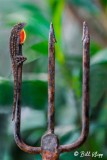 Cuban Brown Anole  3
