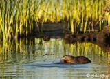 Beavers, California Delta 8