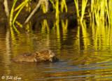 Beavers, California Delta 12