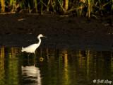 Snowy Egret  17