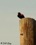 Red Winged Black Bird  2