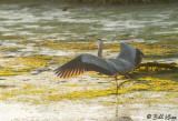 Great Blue Heron  19