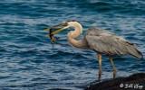 Great Blue Heron with baby Iguana, Fernandina Island  1