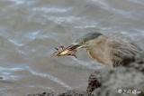 Striated (Lava) Heron,  Fernandina Island  1