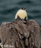 Brown Pelican, North Seymour Island