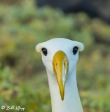 Waved Albatross,  Isla Espanola  1