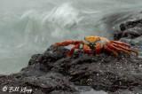 Sally Light Crab, Las Bachas  1