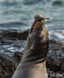Sea Lion with Puffer Fish, Floreana Island  1