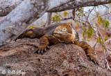 Land Iguana, North Seymour Island