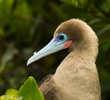 Red-Footed Booby, Genovesa  2