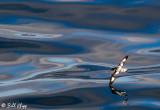 Stiff Wing Glide, Cape Petrel
