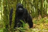 Mountain Gorilla,  Kwitonda Gorilla Group  5