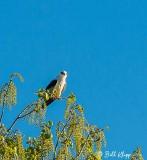 White Tailed Kite  1