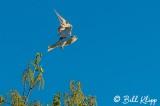White Tailed Kite  2